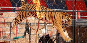 'Amazing News': Rights Groups Celebrate After Italy Bans Use of Circus Animals.