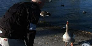 Man, goose form odd-couple friendship