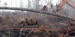Orangutan tries to protect his home.